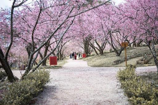 Cerejeiras em Campos do Jordão - Viver Mais a Vida